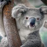 coala-universidades-da-austrália