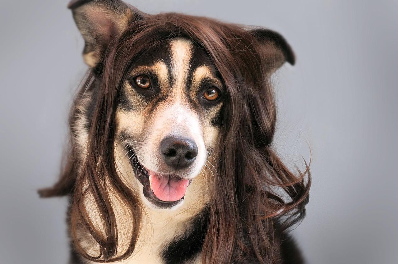 Decida entre esses cães de peruca e diremos para onde você vai viajar em 2021